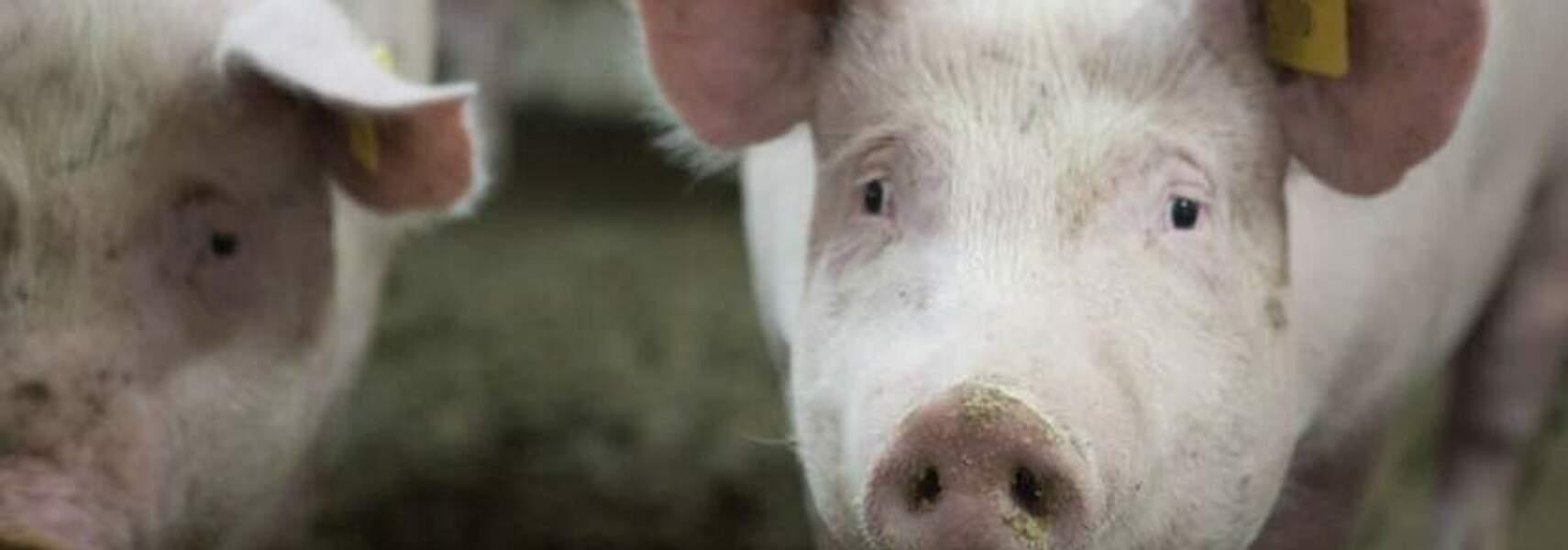 Schmerzhafter Tag für die deutsche Schweinehaltung