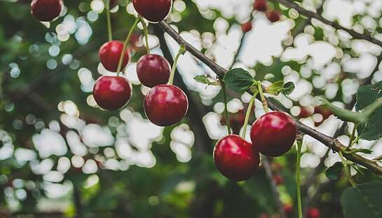 A1_cherries-839864_c_Free-Photos_pixabay